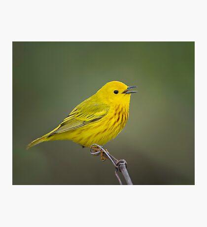 Yellow Warbler Photographic Print