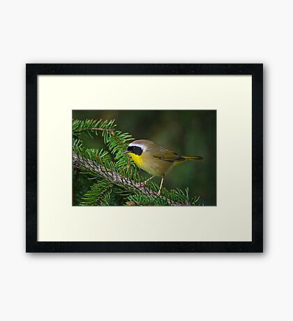 Common Yellowthroat Warbler Framed Print