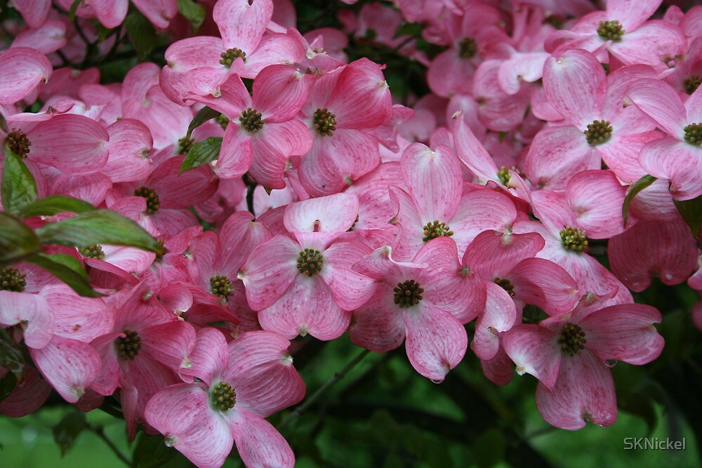 Pink Dogwood by SKNickel
