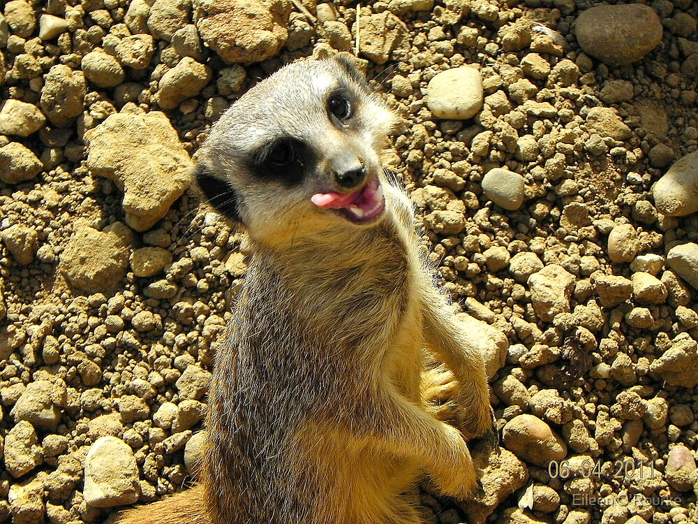 Mm...tasty-Meerkat enjoying a snack by Eileen O'Rourke