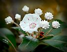 Mountain Laurel by G. David Chafin