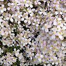 Blossom by Robert Steadman