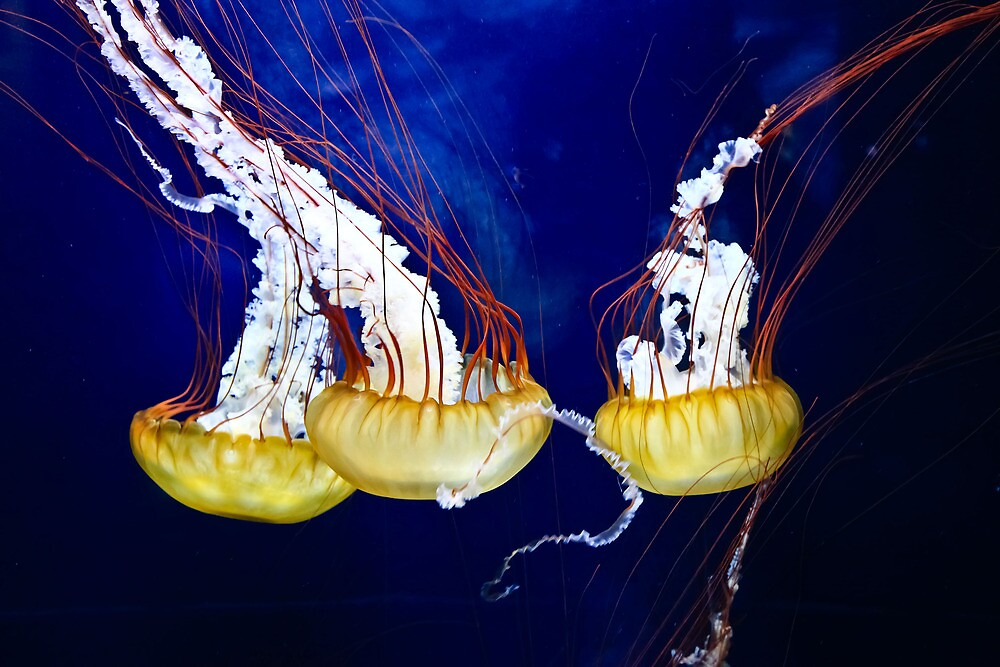 Jelly Fish by Richard Earl