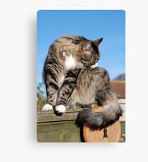 Tabby cat cleaning fur Canvas Print