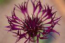 Centaurea-Amethist Dream by Valerie Henry
