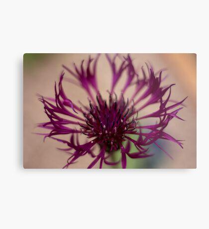 Centaurea-Amethist Dream Metal Print