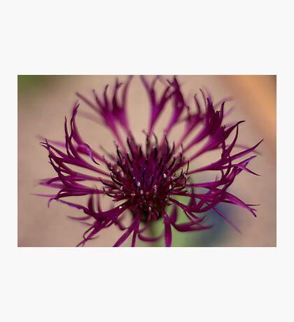 Centaurea-Amethist Dream Photographic Print