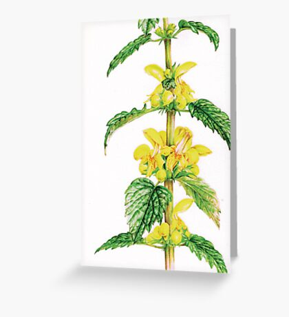 Yellow Archangel - Lamiastrum galeobdolon Greeting Card