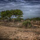 Young Maritime Pine by jean-louis bouzou