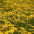 Yellow Camomiles by VallaV