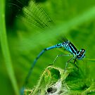 Common blue Damselfly by Russell Couch