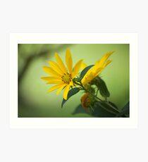 Woodland sunflower Art Print