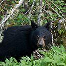 Black Bear - GSMNP by JThill