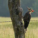 Pilleated Woodpecker II by JThill