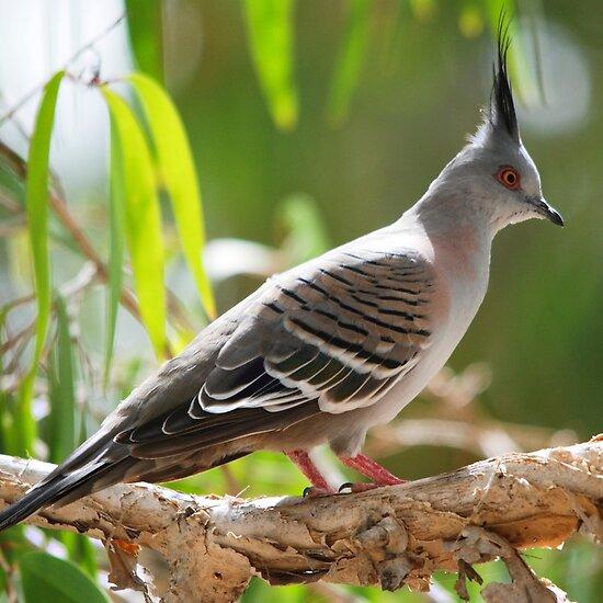 Australian Birds Backyard Galah Cam